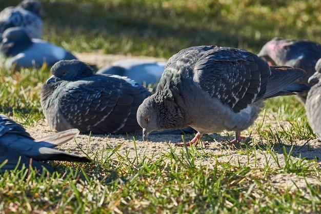 Nahaufnahme von tauben auf dem rasen des stadtplatzes Premium Fotos