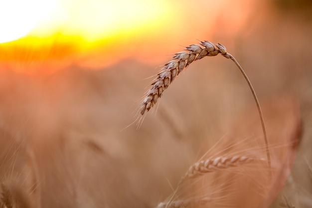 Nahaufnahme von warmen farbigen goldenen gelben reifen fokussierten weizenköpfen am sonnigen sommertag Premium Fotos