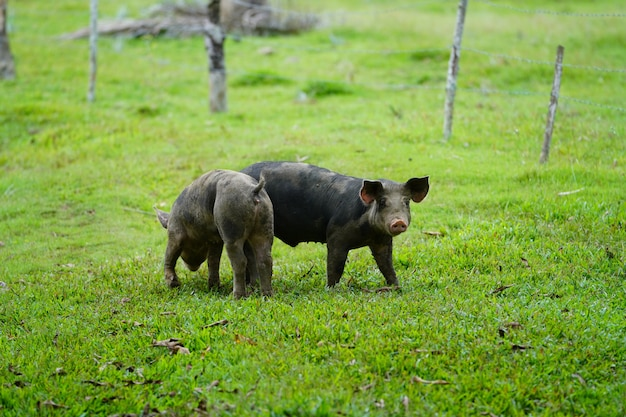 Nahaufnahme von zwei wilden schweinen, die auf einer wiese mit einem unscharfen hintergrund in der dominikanischen republik gehen Kostenlose Fotos