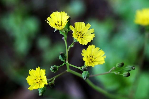 Nahaufnahmeaufnahme der blühenden gelben carolina-wüsten-chicorée-blumen mit grün auf der entfernung Kostenlose Fotos