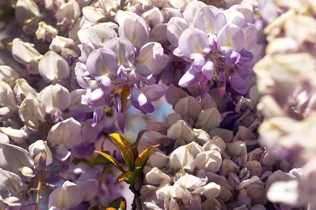 Nahaufnahmeaufnahme der glyzinienblume unter dem sonnenlicht Kostenlose Fotos