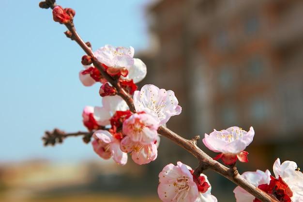 Nahaufnahmeaufnahme der schönen kirschblütenblumen auf einem ast Kostenlose Fotos