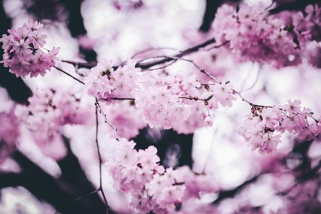 Nahaufnahmeaufnahme der schönen rosa kirschblütenblumen mit einem unscharfen hintergrund Kostenlose Fotos