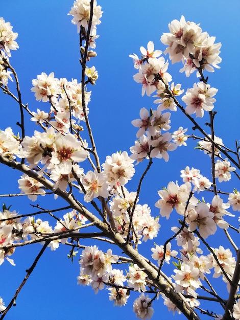 Nahaufnahmeaufnahme der schönen weißen blumen auf mandelbäumen und einem blauen himmel Kostenlose Fotos