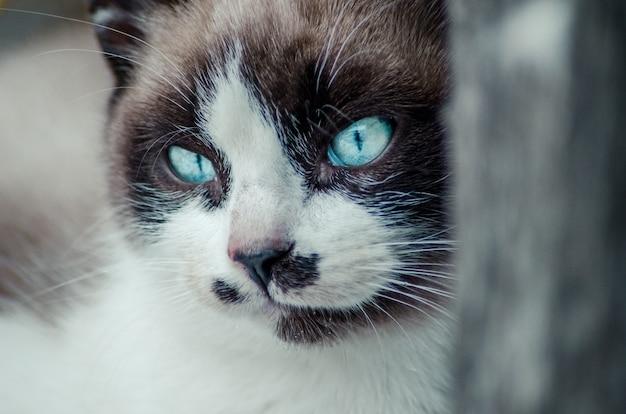 Nahaufnahmeaufnahme des braunen und weißen gesichts einer niedlichen blauäugigen katze Kostenlose Fotos