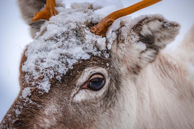 Nahaufnahmeaufnahme des kopfes eines schönen hirsches mit schneeflocken darauf Kostenlose Fotos
