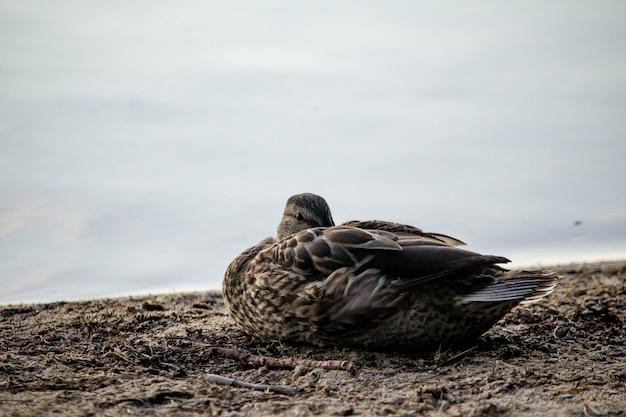 Nahaufnahmeaufnahme einer ente, die auf dem boden nahe dem meer sitzt Kostenlose Fotos