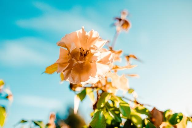 Nahaufnahmeaufnahme einer erstaunlichen weißen rosenblume auf einem blauen himmel Kostenlose Fotos