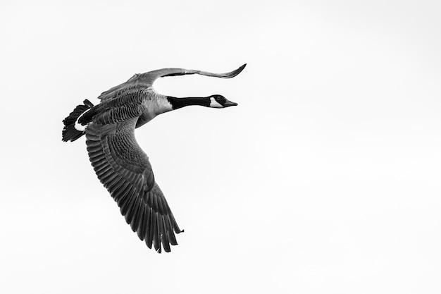 Nahaufnahmeaufnahme einer fliegenden gans mit einem klaren weiß Kostenlose Fotos