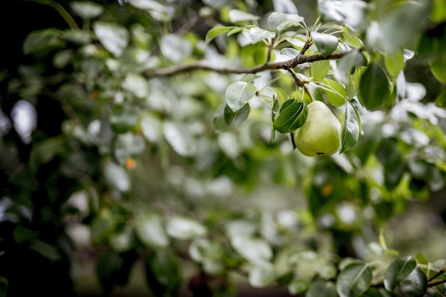 Nahaufnahmeaufnahme einer grünen birne, die an einem zweig mit einem unscharfen hintergrund befestigt ist Kostenlose Fotos