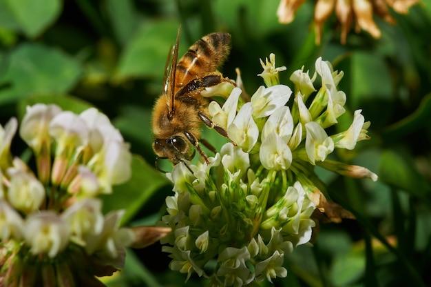 Nahaufnahmeaufnahme einer honigbiene auf einer weißen lavendelblume Kostenlose Fotos