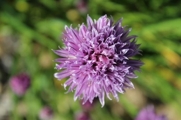 Nahaufnahmeaufnahme einer lila schnittlauchblume auf einem unscharfen hintergrund Kostenlose Fotos