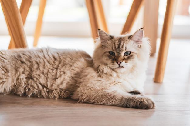 Nahaufnahmeaufnahme einer niedlichen katze, die unter den stühlen auf dem holzboden liegt Kostenlose Fotos