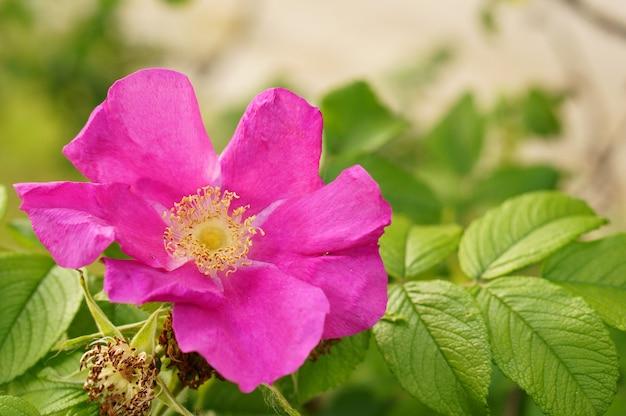 Nahaufnahmeaufnahme einer purpurblättrigen wilden rosenblume auf einem unscharfen hintergrund Kostenlose Fotos