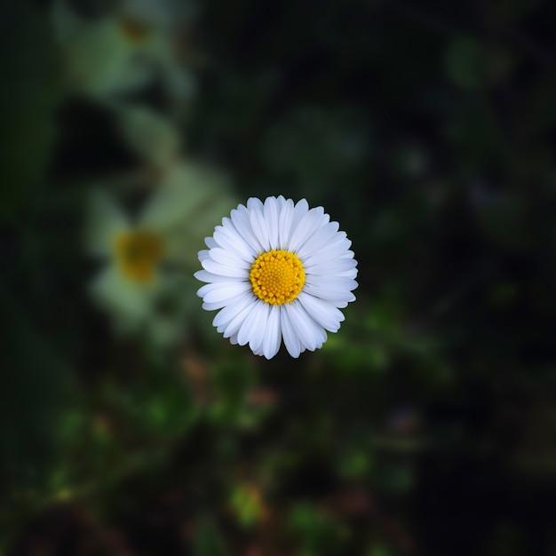Nahaufnahmeaufnahme einer schönen gänseblümchenblume auf einem unscharfen natürlichen Kostenlose Fotos