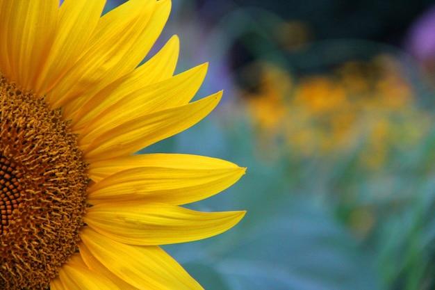 Nahaufnahmeaufnahme einer schönen gelben sonnenblume auf einem unscharfen hintergrund Kostenlose Fotos