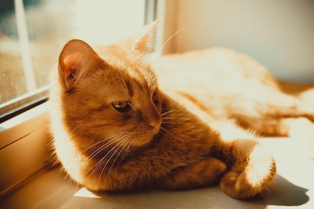 Nahaufnahmeaufnahme einer schönen goldenen katze, die auf der fensterbank liegt Kostenlose Fotos