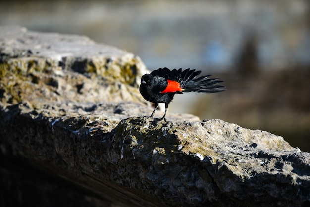 Nahaufnahmeaufnahme einer schönen rotflügeligen amsel, die auf dem felsen steht Kostenlose Fotos