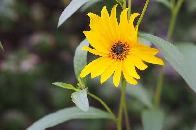 Nahaufnahmeaufnahme einer sonnenblume, die in einem grünen feld wächst Kostenlose Fotos