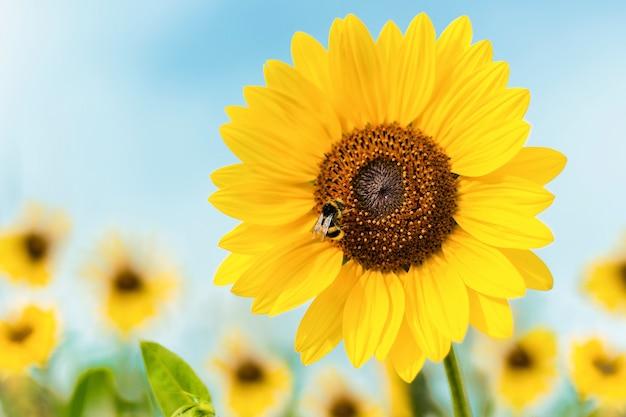 Nahaufnahmeaufnahme einer sonnenblume mit einer biene, die darauf sitzt Kostenlose Fotos