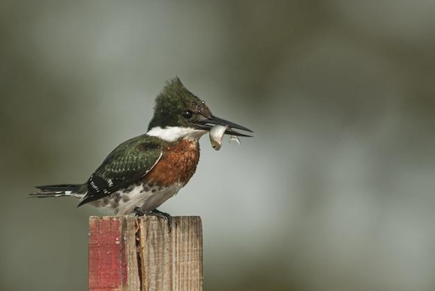 Nahaufnahmeaufnahme eines eisvogelvogels mit gürtel, der auf einem stück holz mit unschärfe sitzt Kostenlose Fotos