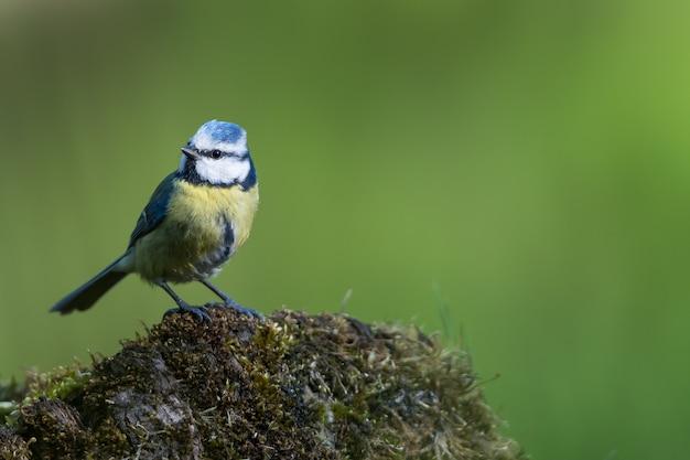 Nahaufnahmeaufnahme eines fliegenfängervogels mit bunten federn auf einem felsen, der mit moos bedeckt ist Kostenlose Fotos