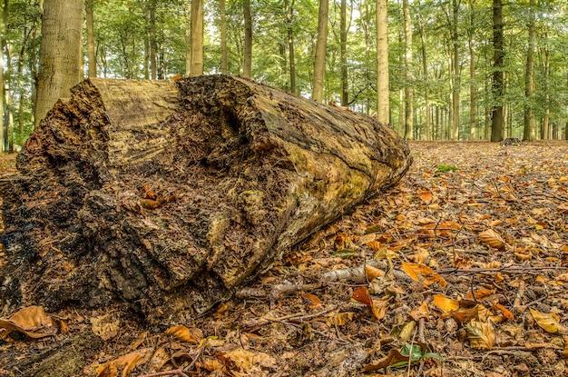 Nahaufnahmeaufnahme eines großen hölzernen baumstamms mitten in einem wald voller bäume an einem kühlen tag Kostenlose Fotos