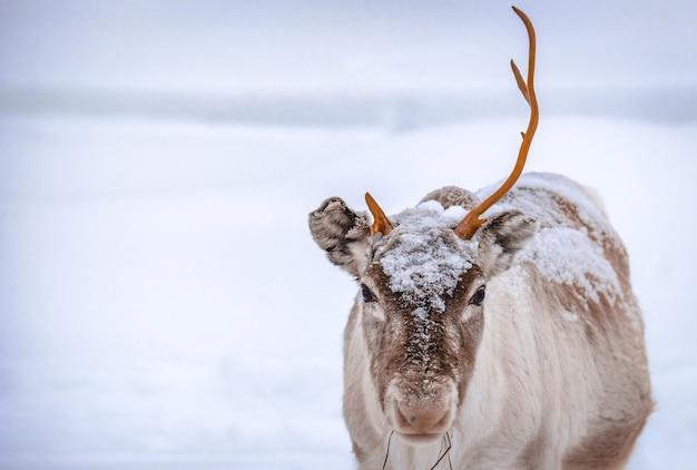 Nahaufnahmeaufnahme eines hirsches mit einem horn, das auf dem schneebedeckten boden im wald im winter steht Kostenlose Fotos