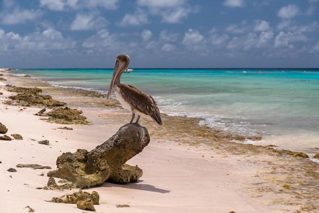 Nahaufnahmeaufnahme eines niedlichen braunen pelikans, der auf einer baumwurzel am strand in bonaire, karibik steht Kostenlose Fotos