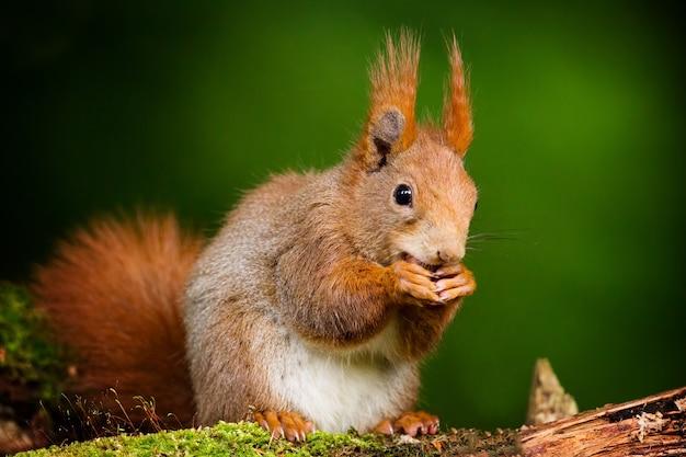 Nahaufnahmeaufnahme eines niedlichen eichhörnchens mit unscharfem grünem hintergrund Kostenlose Fotos