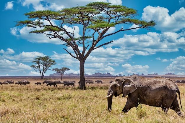 Nahaufnahmeaufnahme eines niedlichen elefanten, der auf dem trockenen gras in der wildnis geht Kostenlose Fotos