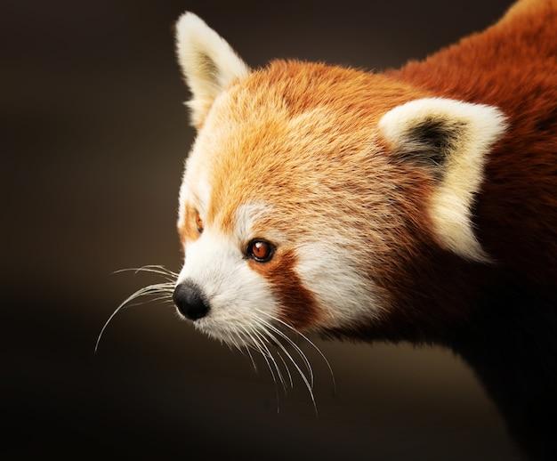 Nahaufnahmeaufnahme eines niedlichen roten pandas Kostenlose Fotos
