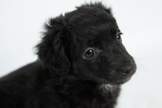 Nahaufnahmeaufnahme eines niedlichen schwarzen flat-coated retriever-hundes mit einem bescheidenen gesichtsausdruck Kostenlose Fotos