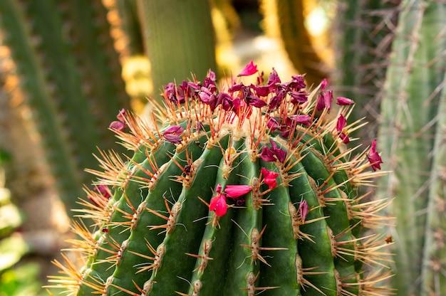 Nahaufnahmeaufnahme eines schönen kaktus mit rosa blumen Kostenlose Fotos