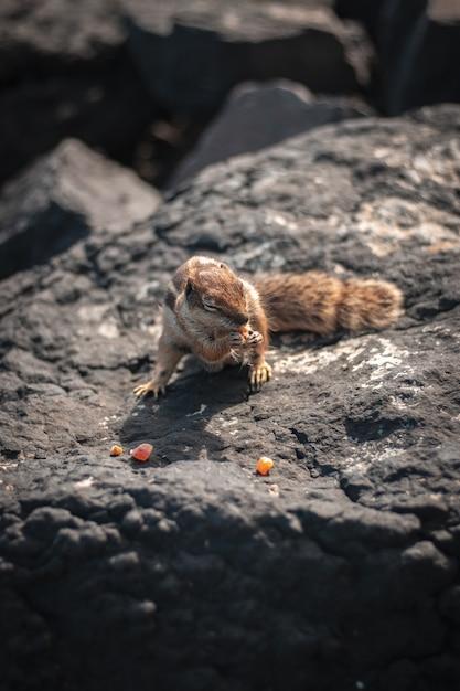 Nahaufnahmeaufnahme eines schönen niedlichen eichhörnchens, das mais auf einem felsen isst Kostenlose Fotos