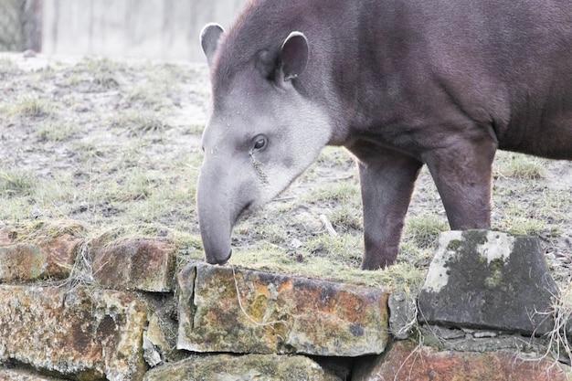 Nahaufnahmeaufnahme eines tapirs, der heu auf einer steinmauer pflückt Kostenlose Fotos