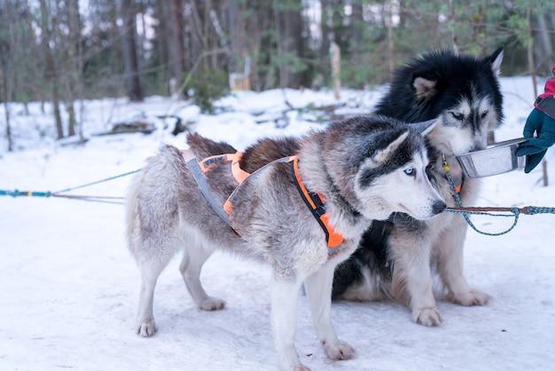 Nahaufnahmeaufnahme von niedlichen huskys in einem verschneiten wald Kostenlose Fotos