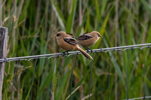 Nahaufnahmeaufnahme von zwei kleinen vögeln, die auf einer metallschnur hinter dem gras sitzen Kostenlose Fotos