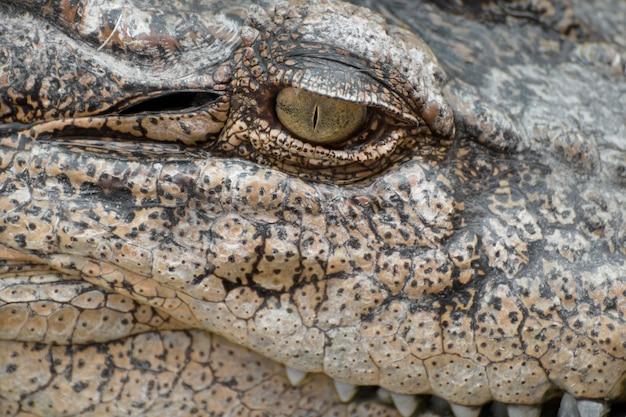 Nahaufnahmeauge eines krokodils. Premium Fotos