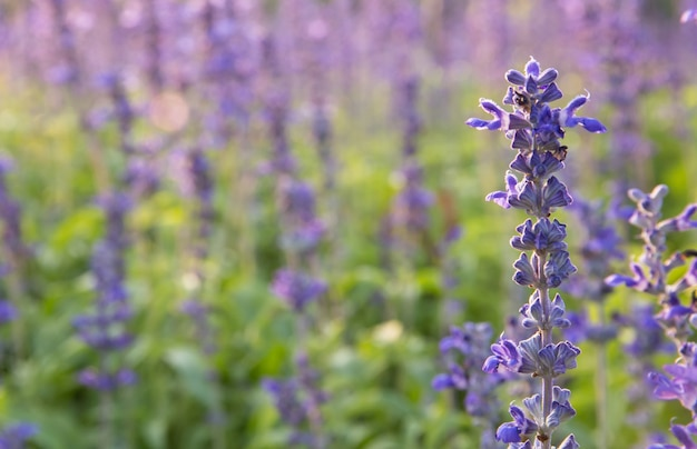 Nahaufnahmebild des violetten lavendels blüht auf dem gebiet am sonnigen tag Premium Fotos
