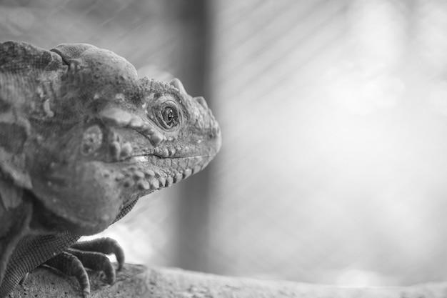 Nahaufnahmechamäleon haftet auf dem bauholz auf unscharfem tierkäfig texturhintergrund im schwarzweiss-ton mit kopienraum an Premium Fotos