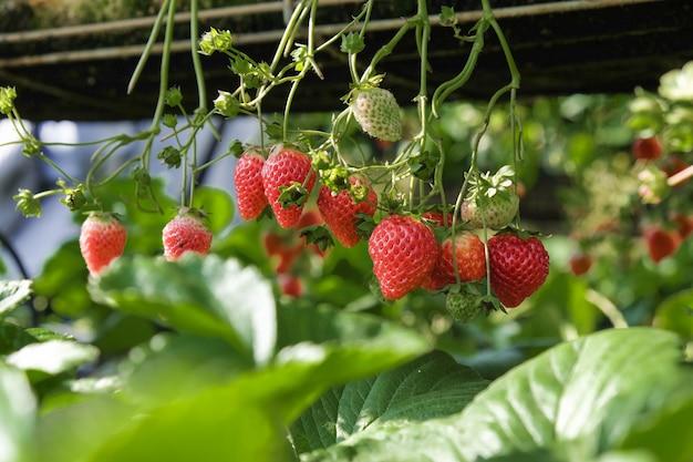 Nahaufnahmeerdbeeren, die im gewächshaus hängen Kostenlose Fotos