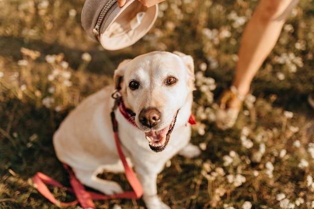 Nahaufnahmefoto des hundes mit offenem mund, der auf gras sitzt. labrador im roten kragen geht im park. Kostenlose Fotos
