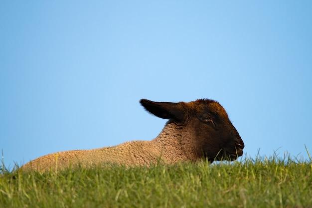 Nahaufnahmefoto einer ziege, die auf gras unter einem blauen himmel steht Kostenlose Fotos