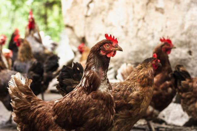 Nahaufnahmegruppe hühner am bauernhof Kostenlose Fotos