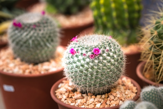 Nahaufnahmekaktusblumen, rosa blumenkaktus in der kindertagesstätte Premium Fotos