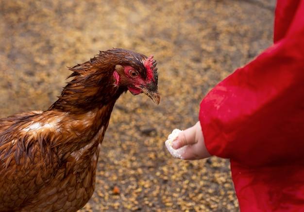 Nahaufnahmekind, das hühnernahrung hält Kostenlose Fotos