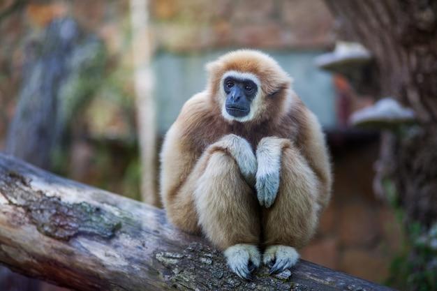 Nahaufnahmeporträt des weiß übergab den gibbon oder lar gibbon-affen, die auf einer niederlassung am zoo sitzen Premium Fotos