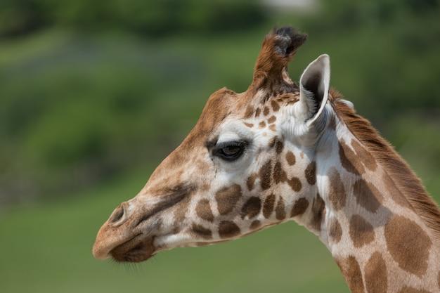 Nahaufnahmeporträt einer giraffenkopf giraffa camelopardalis mit grünem undeutlichem hintergrund Premium Fotos