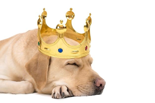 Nahaufnahmeporträt eines gelben labrador-hundes in einer goldenen krone Premium Fotos